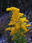 A golden rod