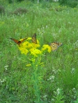 Butterflies on stiff goldenrod