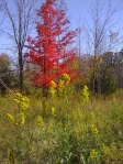 Maple & showy goldenrod_resize