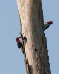 Parenting_Red_Headed_Woodpeckers_resize